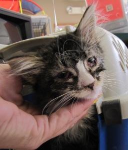Vivica kitten 11